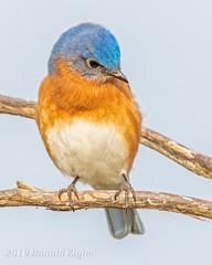 Bluebird IMG_4034 (ronzigler) Tags: bluebird songbird eastern bird watcher avian nature wildlife