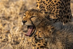 A flashback to the CKGR in August... (lyn.f) Tags: cheetah mumandson acinonyxjubatus centralkalahari botswana ilovebotswana bigcat africa safari wildernesssafaris kalahariplains kalaharimagic