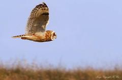 SEO. (nondesigner59) Tags: asioflammeus shortearedowl inflight hunter nature wildlife archives owl copyrightmmee eos7dmkii nondesigner nd59