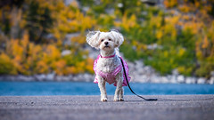 A Dog and Some Fall Colors (RS2Photography) Tags: dog cute animal canon natur nature photography landscape lake water sabrina bishop fall october colors animalplanet smugmug outside naturephotography bishopcreek easternsierra sierranevada canon80d dress october2019 fun funny fallcolors fallcolours colourful sierranevadas easternsierras tree trees california life puppers pupper usa america