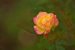 Rose (pstenzel71) Tags: blumen natur pflanzen rosa rose darktable flower bokeh