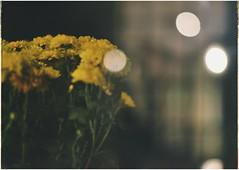 * (PattyK.) Tags: ioannina giannena giannina epirus ipiros balkans hellas ellada greece grecia griechenland october 2019 ιωάννινα γιάννενα ήπειροσ ελλάδα βαλκάνια οκτώβριοσ snapseed nikond3100 night yellow flowers lights λουλούδια κίτρινο νύχτα φώτα