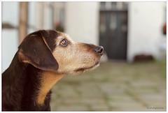 What's up there...? (lichtspuren) Tags: lemmy lemmel bracke hellenichound hellinikosichnilatis blackandtan braque dog hund friend lichtspuren