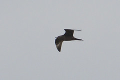 LTS. (stonefaction) Tags: long tailed skua birds nature wildlife scotland arbroath angus elliot