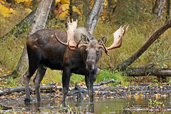 Bull Moose Drinking (AlaskaFreezeFrame) Tags: moose bull bullmoose canon alaska alaskafreezeframe anchorage nature outdoors wildlife 70200mm mammals herbivore antlers animals fall trees plants rut dangerous velvet telephoto spring summer autumn closeup portrait lake drinking water