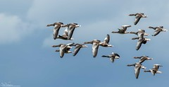 Arriving Greylags (Steve (Hooky) Waddingham) Tags: animal countryside coast canon bird british nature grey flight frampton wild wildlife wildfowl winter photography planet geese