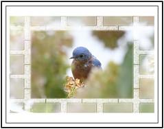 2019-10-05_202351 bluebird with frame (tbullipoo) Tags: eastern bluebird