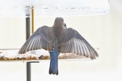 TC1_0579 bluebrd spread my wings (tbullipoo) Tags: bluebird