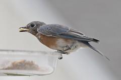 TC1_0539 bluebird with peanut (tbullipoo) Tags: bluebird