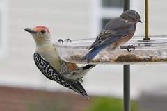 TC1_0475 red-bellied woodpecker and bluebird (tbullipoo) Tags: bird redbellied woodpecker bluebird