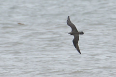 Long Tailed Skua. (stonefaction) Tags: long tailed skua birds nature wildlife scotland arbroath angus elliot