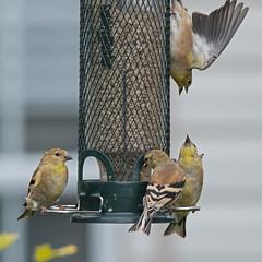 Backyard Battles (nickinthegarden) Tags: americangoldfinch abbotsfordbccanada