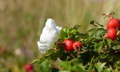 Burnet rose / Duinroos (joeke pieters) Tags: 1500475 panasonicdmcfz150 texel duinroos bloem flower rozenbottel hip nederland netherlands holland ngc npc