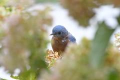 TC1_0554 bluebird hiding in hydrangea (tbullipoo) Tags: bluebird hydrangea
