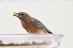 TC1_0670 bluebird with peanut (tbullipoo) Tags: bluebird