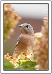 TC1_0646 bluebird portrait in hydrangea with frame (tbullipoo) Tags: bluebird