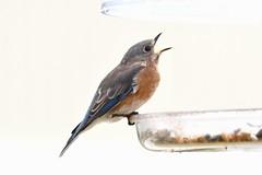 TC1_0565 bluebird (tbullipoo) Tags: bluebird