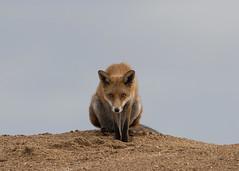 Fox (vulpes vulpes) (Steve Ashton Wildlife Images) Tags: fox mammal vulpes vulpesvulpes ramsgate port kent
