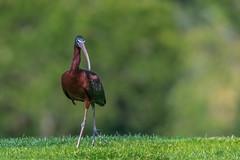 glossy ibis / brauner Sichler (Senol Könnecke) Tags: bird birds glossyibis nature portugal algarve summer photography wildlife nikon d850 nikon200500mm vogel vögel natur urlaub fotografie sichler groservogel