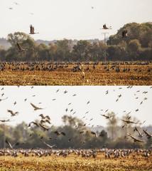 Kraniche (Mignon Berger-Oswald) Tags: mignonbergeroswald deutschland mecklenburgvorpommern fischlanddarszingst dars ostsee kranich kraniche vögel vogelbeobachtung stare star wildlife wildtiere
