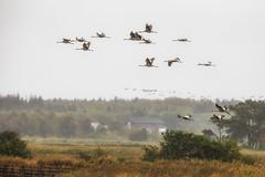 IMG_1733 (Mignon Berger-Oswald) Tags: mignonbergeroswald deutschland mecklenburgvorpommern fischlanddarszingst dars ostsee kranich kraniche vögel vogelbeobachtung stare star wildlife wildtiere