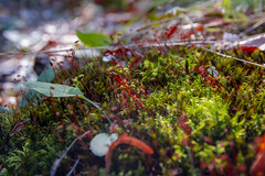 Forest moss (BenedekM) Tags: nature nikon nikond3200 d3200 sigma sigma1750f28 forest woods trees tree natureperfection lights greens sunshine lightrays colorful autumn 2019autumn 2019 hungary hungarian hungarianforest magyarország nagybörzsöny leaves fallenleaves autumnleaves moss