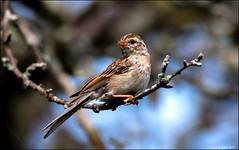 Chipping Sparrow (Spizella passerina) (Steve Arena) Tags: heirloomharvest heirloomharvestcsa chippingsparrow spizellapasserina bird birds birding westboro westborough massachusetts worcestercounty 2019 nikon d750