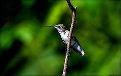 DSC_3647 PS2 (Steve Arena) Tags: heirloomharvest heirloomharvestcsa bird birds birding westboro westborough massachusetts worcestercounty 2019 nikon d750