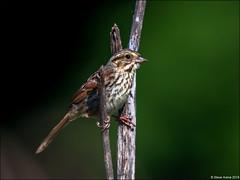 Song Sparrow (Melospiza melodia) (Steve Arena) Tags: heirloomharvest heirloomharvestcsa songsparrow melospizamelodia bird birds birding westboro westborough massachusetts worcestercounty 2019 nikon d750