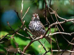 Juvenile Chipping Sparrow (Spizella passerina) (Steve Arena) Tags: heirloomharvest heirloomharvestcsa chippingsparrow spizellapasserina bird birds birding westboro westborough massachusetts worcestercounty 2019 nikon d750
