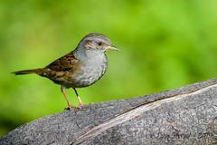 07102019-sDSC_7547 (Eyas Awad) Tags: eyasawad bird birds birdwatching wildlife nature nikon passerascopaiola prunellamodularis