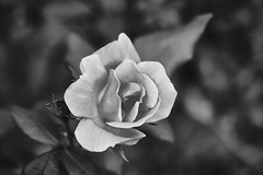 It's Really Pink (Modkuse) Tags: rose flower art artphotography artistic artisticphotography nature natural natureart photoart fineartphotography fineart monochrome bw blackandwhite acros acrossimulation xt2acros fujifilmxt2acrossimulation fujifilm fujifilmxt2 xt2 fujinon fujinonxf1855mmf284rlmois xf1855mmf284rlmois grayscale