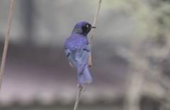 Blue Bird (AndrewSingleton) Tags: tanzania animals safari africa bird