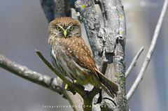 - CABURE ... ( Glaucidium brasilianum - Ferruginous pygmy owl ) toma en Reserva Costanera Sur.RECS.Argentina -Buenos Aires . (FISHERMAN'S PASSION AND OPEN NATURE...) Tags: glaucidiumbrasilianum ferruginouspygmyowl lechuza búho owl horaciopatronephotography wildlife fotografianaturaleza horaciopatrone reservacostanerasur recs argentina buenosaires nikond500 nikor300mmf4 nikortc14 avesargentinas rapaz caburé coruja
