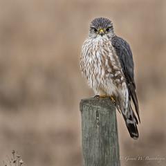 Merlin (Turk Images) Tags: beaverhilllake falcocolumbarius alberta birds falconidae falcons merl merlin spring