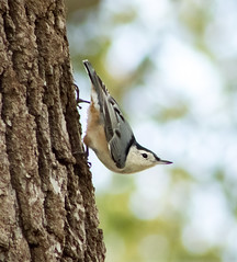 Nuthatch (mahar15) Tags: birds outdoors nuthatch wildlife whitebreastednuthatch nature