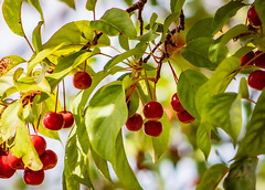 Crabapples (mahar15) Tags: autumn wildfruit nature outdoors apples foliage malus fruit crabapples red