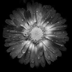 Toutes les lunes #2 (PhlippeC.) Tags: fleur flower blackwhite noirblanc monochrome square carré nature 100mm macro