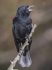 Red-winged Blackbird (shooter1229) Tags: animal avian bird heronpark nature outdoors redwingedblackbird wetlands wildlife