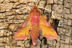1992-_W4A0713 Small Elephant Hawk-moth (Deilephila porcellus) (ajmatthehiddenhouse) Tags: moth uk garden stmargaretsatcliffe kent 2018 deilephila porcellus deilephilaporcellus smallelephanthawkmoth sphingidae