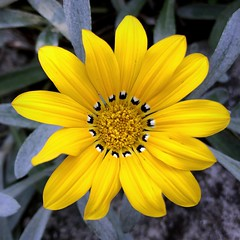 Gazania (__ PeterCH51 __) Tags: yellow flower yellowflower villataranto botanicalgardens villatarantobotanicalgardens verbania italy italia square iphone peterch51 giardinibotanicivillataranto gazania gazanie mittagsgold mittagsgoldblume yellowgazania