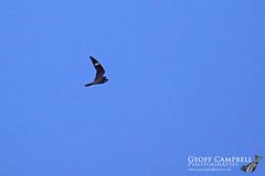 Common Nighthawk (Chordeiles minor) - Galgorm, Co Antrim, 07/10/19. (gcampbellphoto) Tags: commonnighthawk chordeilesminor bird rarity northernireland ireland flight bif birdinflight
