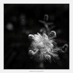 Autumn (I) (Maximilian Busl) Tags: leupoldsgrün plant flower nature bayern deutschland autumn blackandwhite fall monochrome backlight sensitive hasselblad meditation withered 500cm cfv50c peace decay contemplation