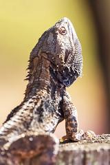 Bearded dragon sunbaking on a fence post. (jennospics) Tags: lizard beardeddragon