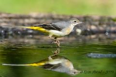 05102019-sD40_7445 (Eyas Awad) Tags: eyasawad bird birds birdwatching wildlife nature nikon ballerinagialla motacillacinerea