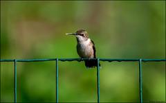 Ruby-throated Hummingbird (Archilochus colubris) (Steve Arena) Tags: heirloomharvest heirloomharvestcsa rubythroatedhummingbird archilochuscolubris bird birds birding westboro westborough massachusetts worcestercounty 2019 nikon d750