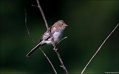 Juvenile Field Sparrow (Spizella pusilla) (Steve Arena) Tags: heirloomharvest heirloomharvestcsa sparrow fieldsparrow spizellapusilla bird birds birding westboro westborough massachusetts worcestercounty 2019 nikon d750