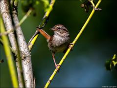Swamp Sparrow (Melospiza georgiana) (Steve Arena) Tags: westborowildlifemanagementarea westborowma swampsparrow melospizageorgiana bird birds birding westboro westborough massachusetts worcestercounty 2019 nikon d750