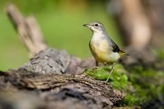 05102019-sDSC_7405 (Eyas Awad) Tags: eyasawad bird birds birdwatching wildlife nature nikon ballerinagialla motacillacinerea