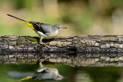 05102019-sD40_7448 (Eyas Awad) Tags: eyasawad bird birds birdwatching wildlife nature nikon ballerinagialla motacillacinerea